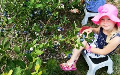 U-Pick, We Pick, Everyone Picks – Fresh Fruit this Summer